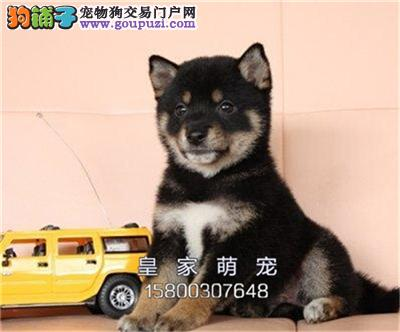 河北出售柴犬高品质听话憨厚犬全国发货