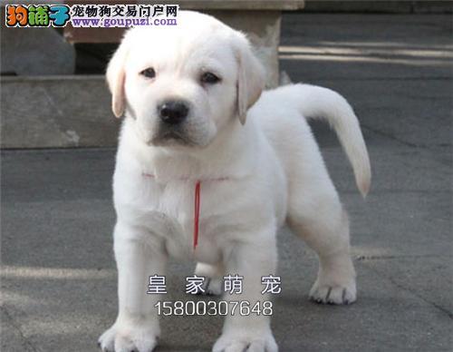 河北家养拉布拉多出售神犬小七全国发货