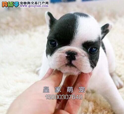河北专业繁殖法牛极品出售幼犬全国发货