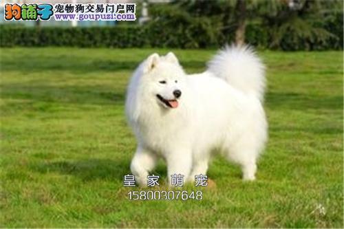 河北犬舍萨摩耶骨量足健康完美犬全国发货