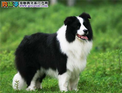 河北边牧漂亮极品犬保健康全国发货