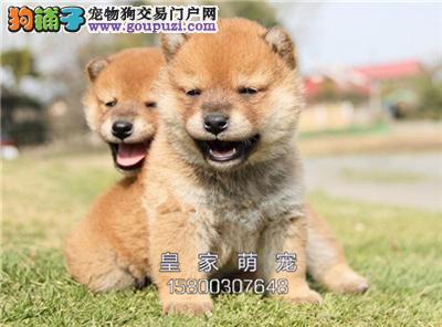 河北家养柴犬新生听话三个月狗狗全国发货