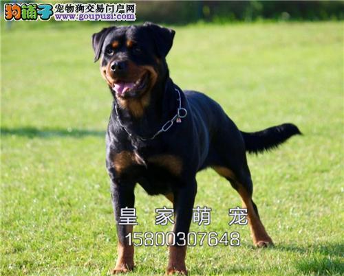 河北最大犬舍罗威纳顶级公母均有全国发货