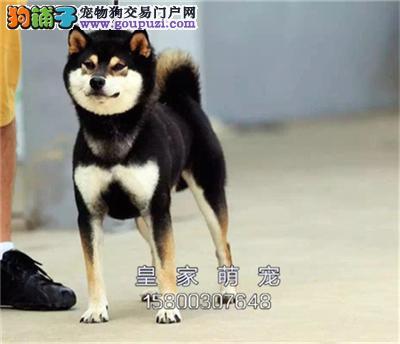 河北出售柴犬聪明懂事犬幼犬待售全国发货