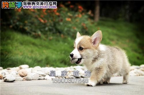 河北本地出售柯基健康小幼犬待售全国发货