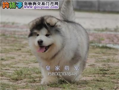 河北阿拉斯加熊版狗狗疫苗已做全国发货