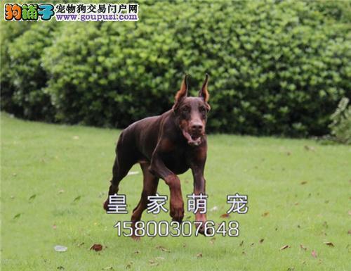 河北家养杜宾漂亮自家养威猛犬全国发货