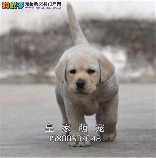 河南便宜出售拉布拉多精品犬全国发货