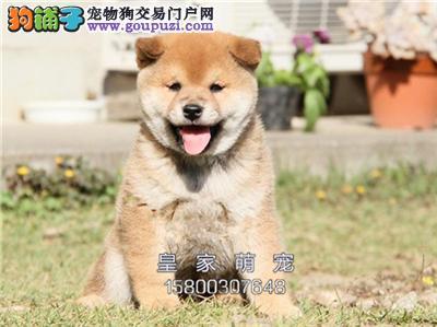 河南柴犬乖巧顶级日本上门打折全国发货