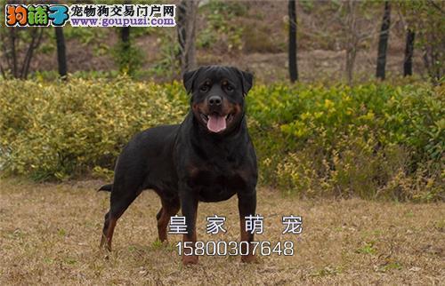 河南家养罗威纳可爱大骨量犬全国发货
