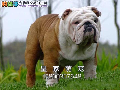 浙江便宜出售英牛新生高品相狗狗全国发货