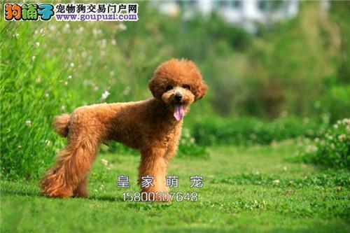 浙江本地出售泰迪萌萌熊包纯种全国发货