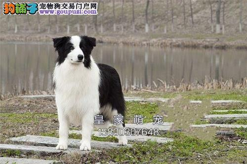 浙江正规犬舍边牧聪明七白幼犬全国发货