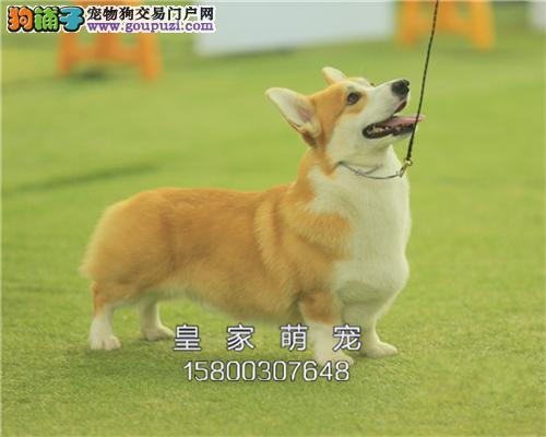 浙江出售柯基可爱犬全国包运全国发货