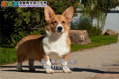 浙江家养柯基帅气纯种幼犬待售全国发货