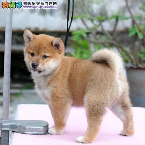 专业繁殖柴犬幼犬出售、包活、签协议、送货上门