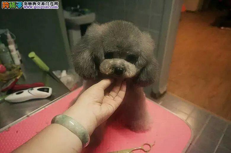 专业常年繁殖纯种贵宾泰迪犬舍 三针做齐可视频