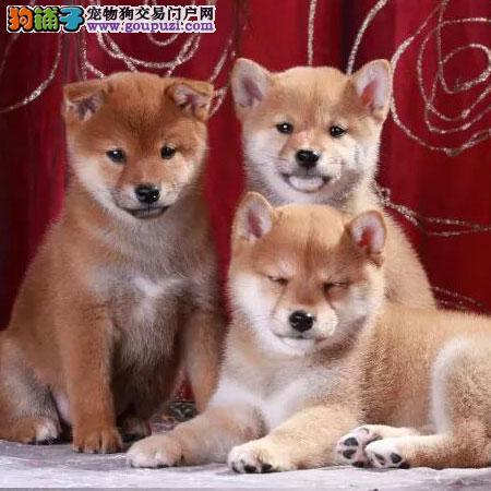 微笑柴犬 获全球最幸福小狗称号 喜欢就来抱走它