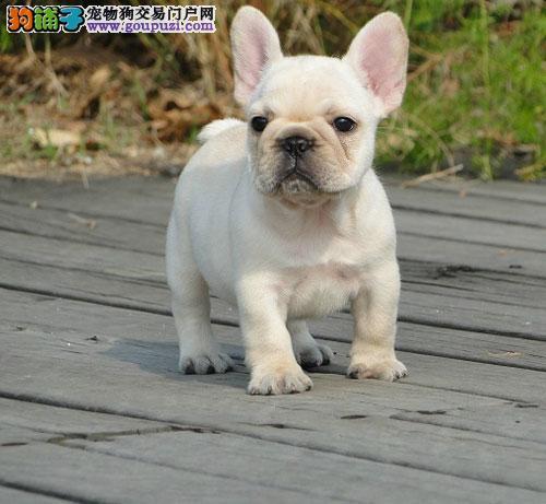 方体网红犬  纯种法国斗牛  带血统