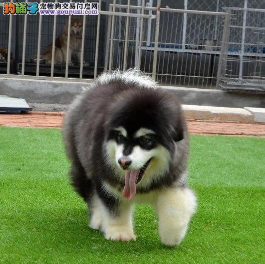 帅气纯种  阿拉斯加犬  巨型熊版