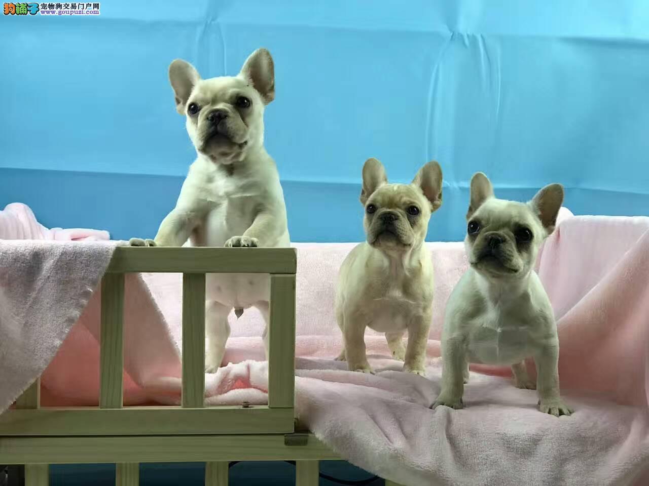 纯种法国斗牛犬,三针做齐,带血统证书