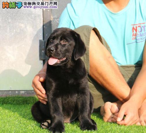双血统纯种拉布拉多犬,繁殖基地正规幼犬