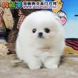 犬舍繁殖出售,球体博美健康保纯种