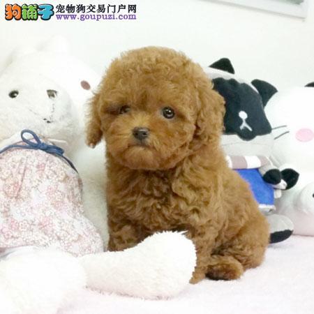 家养纯种泰迪犬,茶杯体泰迪宝宝,健康百分百