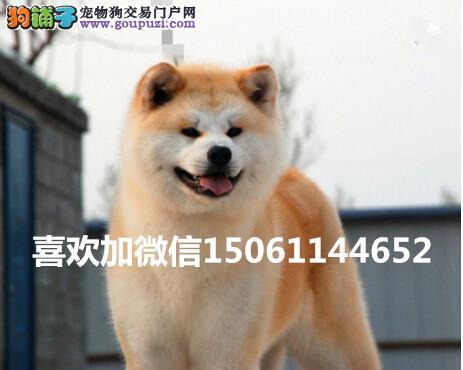 大型基地出售双血统高品质秋田幼犬包健康假一赔十