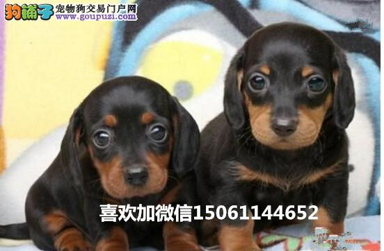 纯种腊肠幼犬多少钱一只专业养殖基地包健康包纯种