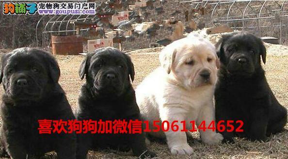 哪里有卖纯种拉不拉多幼犬我们专业养殖基地包健康送货