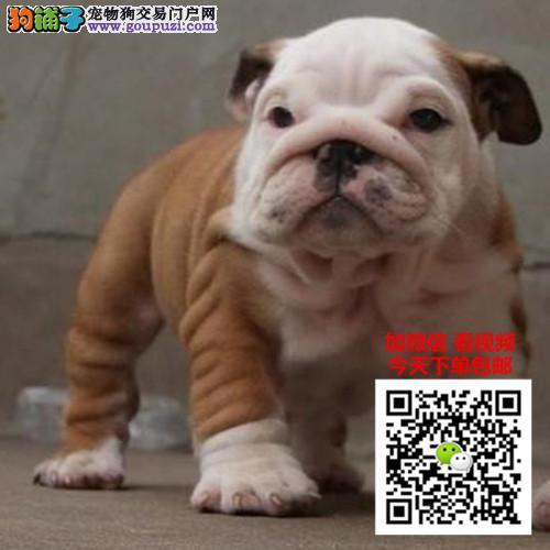 犬舍直销中国高端英国斗牛犬繁育专家出售顶级英牛犬