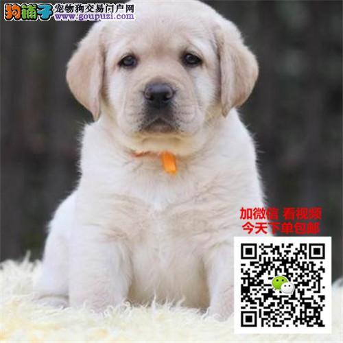 正规犬舍出售纯种拉布拉多 神犬小七公母均有