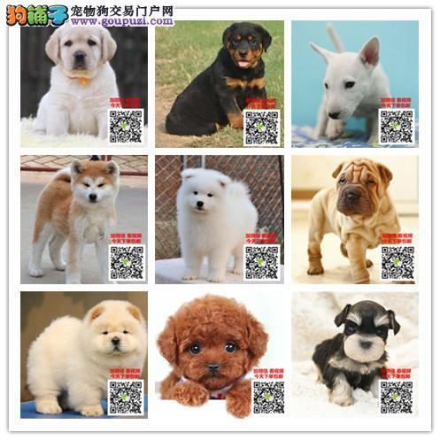 最大最正规的犬舍基地出售纯种健康秋田八公犬全国发货