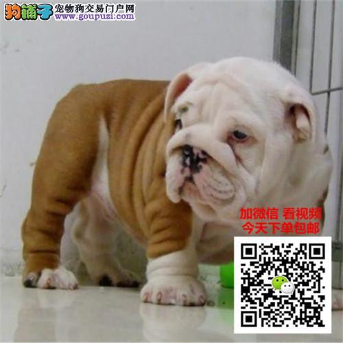 上海最大正规犬舍基地出售纯种英国斗牛犬公母都有