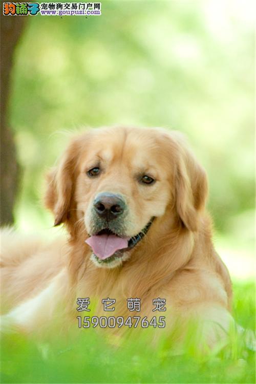 新疆出售金毛骨量足顶级猎犬全国发货