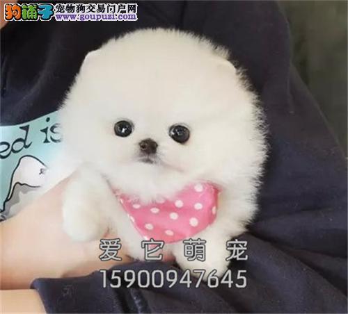 新疆博美极品三个月幼犬待售全国发货