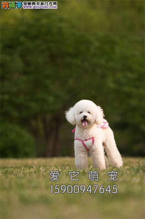 新疆哪里有泰迪多色幼犬包纯种全国发货
