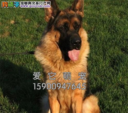 新疆德牧可爱帅气幼犬包纯种全国发货