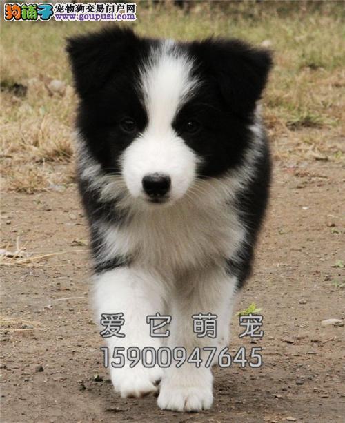 新疆边牧高品质咖啡色幼犬包纯种全国发货