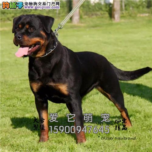 新疆罗威纳好养霸气犬驱虫已做全国发货