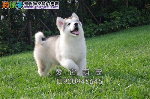 重庆阿拉斯加新生极品巨型犬全国发货