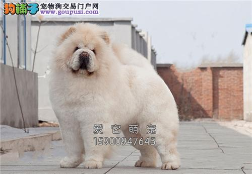 重庆松狮出售肉嘟嘟公母均有全国发货
