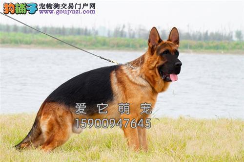 重庆德牧出售乖巧护卫犬疫苗已做全国发货