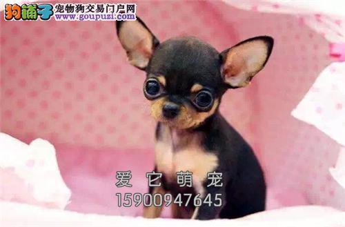 重庆出售吉娃娃出售茶杯驱虫已做全国发货