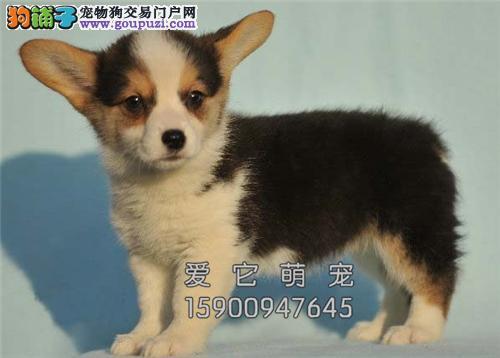 重庆家养柯基纯种健康威尔士犬全国发货