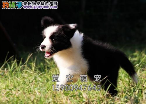 重庆家养边牧帅气自家养犬全国发货