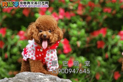 重庆犬舍泰迪听话超萌全国包运全国发货