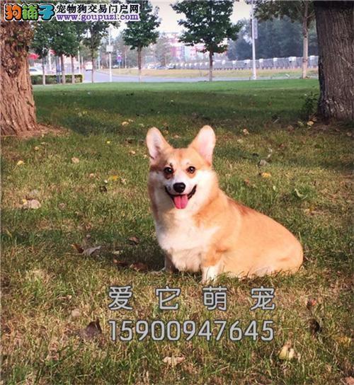 重庆柯基肥臀犬保健康全国包运全国发货