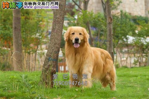 重庆犬舍金毛赛级 双血统包纯种全国发货